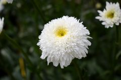 White terry chamomile on the flower bed. In the garden stock images