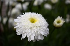 White terry chamomile on the flower bed. In the garden stock image