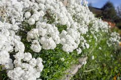 White Terry Gypsophila Blossoms Luxuriantly In A Flowerbed In The Garden. Royalty Free Stock Photography