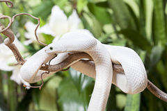 White Texas rat snake Royalty Free Stock Photography