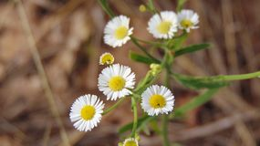 White Texas Wildflowers with Brown Vegetation royalty free stock photos