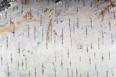The white texture of birch bark Royalty Free Stock Images