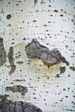 White texture stem tree Stock Photography