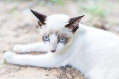 White Thai Cat. Color blue eye Stock Images