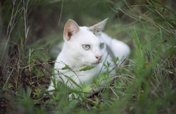 A white thai cat siting among the green grass with blurred background and see something , selective focus, filtered image.  stock photography