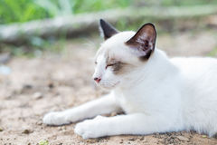 White Thai Cat. Is sleeping in natural Royalty Free Stock Photography