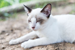 White Thai Cat. Is sleeping in natural Royalty Free Stock Photos