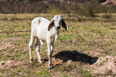 White Thai cow in field Royalty Free Stock Photo