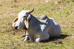 White Thai cow in field Royalty Free Stock Photography