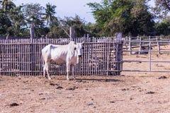 White Thai cows in farm Royalty Free Stock Photos