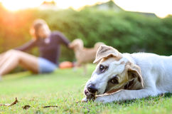 White thai dog playing in front of owner. In green field royalty free stock photography