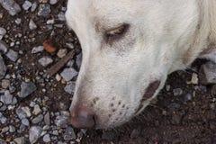 White thai dog sleeping Stock Photography