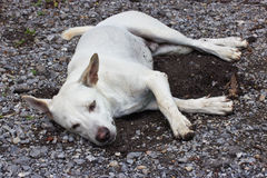 White thai dog sleeping Royalty Free Stock Photo