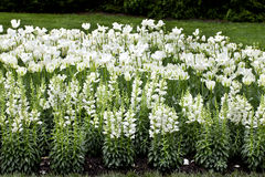 White Theme Flower Garden Stock Image