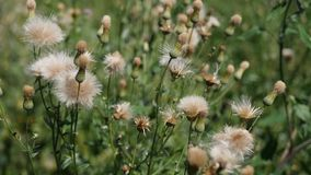 White thistle flowers stock video