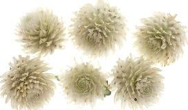White Thistles Royalty Free Stock Photo