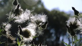 White thistles stock footage
