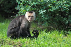 White-thoated capuchin Royalty Free Stock Image