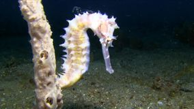 White Thorny seahorse Hippocampus histrix on the sand in Lembeh strait. Indonesia stock video