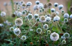 White Thorny Thistle Bush. Prickly, thorns, new england, white globes Royalty Free Stock Photo