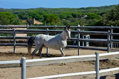 White thoroughbred arab horse. White pure blood arab horse with black mane inside a rot Royalty Free Stock Photography
