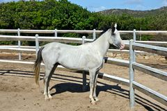 White thoroughbred arab horse. White pure blood arab horse with black mane inside a rot Royalty Free Stock Images