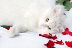 White thoroughbred cat. The beautiful cat  on a white background in petals of roses Stock Photography