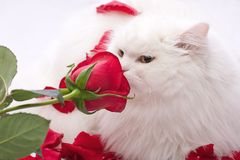 White thoroughbred cat. The beautiful cat smells a rose on a white background in petals of roses Stock Images