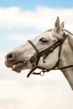 White thoroughbred horse, horse head, Stock Photos