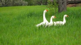 White three geese royalty free stock photo