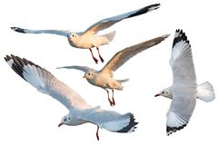 White Three Seagulls Bird Set Isolated Royalty Free Stock Image