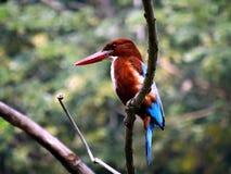 White Throat Kingfisher Bird Stock Image