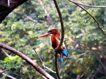 White Throat Kingfisher Bird Royalty Free Stock Photography