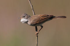 White Throat. The picture was taken form a mobile hide in Hungary Stock Photography