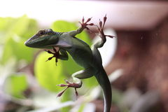 White-Throated anole Stock Image