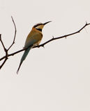 White-throated Bee-eater Stock Photos