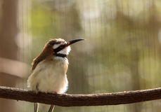 White throated bee-eater Royalty Free Stock Photo