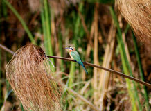 White-throated bee-eater Stock Photography