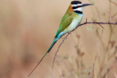 A white-throated bee-eater in samburu Royalty Free Stock Photo