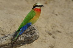 White-throated bee-eater Royalty Free Stock Photo