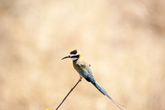 White-throated bee eater Royalty Free Stock Photography