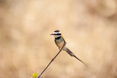 White-throated bee eater Stock Photos