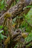 White throated bulbul. White throated bulbu on the tree ,thailand Stock Photography
