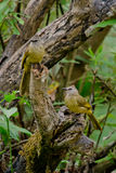 White throated bulbul. Sitting on the tree ,thailand Stock Photo