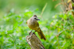White throated bulbul Royalty Free Stock Photography