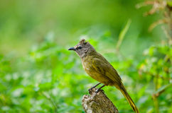 White throated bulbul Stock Images