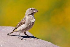White-throated Canary Royalty Free Stock Photography