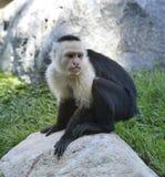 White-Throated Capuchin Monkey Stock Images