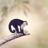White Throated Capuchin Monkey Royalty Free Stock Image