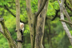 White-throated capuchin Royalty Free Stock Photo